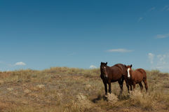 Wild horses in the steppe Royalty Free Stock Images