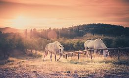 Wild horses and tuscan sunrise Royalty Free Stock Images