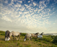 Wild horses and sunset. Wild horses and beautiful sunset Stock Image