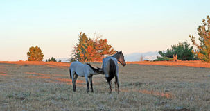 Wild Horses at sunset - Blue Roan Colt nursing his Blue roan mare mother on Tillett Ridge in the Pryor Mountains of Montana USA. Wild Horses at sunset - Blue Stock Photography
