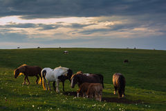 Wild horses at sunset Stock Image