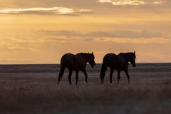 Wild Horses at Sunset. A pair of wild horse stallions silhouetted in a beautiful Utah desert sunset Stock Photography