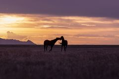 Wild Horses at Sunset. A pair of wild horse stallions silhouetted in a Utah desert sunset Royalty Free Stock Photo