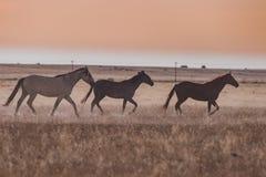 Wild Horses at Sunset Running Royalty Free Stock Photo