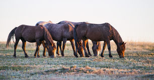 Wild horses. At sunset at Theodore Roosevelt National Park in North Dakota royalty free stock image