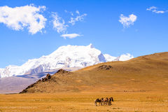 Wild horses. The wild horses at the Tibet Stock Images