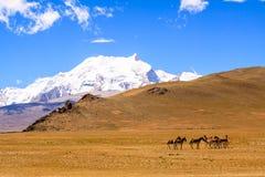 Wild horses. The wild horses at the Tibet Stock Photography