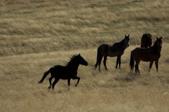 Wild horses about to run stock image