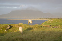Wild Horses, Tully, Connemara, Galway Royalty Free Stock Photography