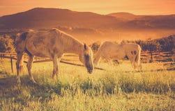 Wild horses on tuscan meadow Royalty Free Stock Photos