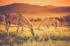 Wild horses on tuscan meadow stock image