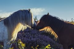 Wild Horses on Upland Meadow Close Up royalty free stock images