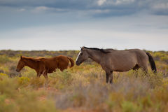 Wild Horses In Utah Royalty Free Stock Image