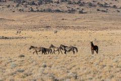 Wild horses in the Utah Desert. A herd of wild horses in the Utah desert Stock Images
