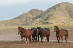 Wild Horses in the Utah Desert stock photo