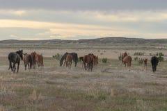 Wild Horses in the Utah Desert in Summer. A herd of beautiful wild horses in the Utah desert Stock Image