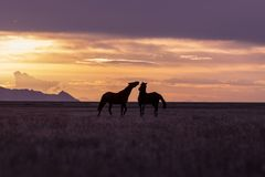 Wild Horses in the Utah Desert at Sunset. A pair of wild horse stallions silhouetted in a Utah desert sunset Royalty Free Stock Photography