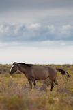 Wild Horses In Utah Royalty Free Stock Photos