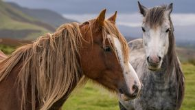 Wild horses in Wales, UK. Wild horses near Hay Bluff and Twmpa in the Black Mountains, Brecon Beacons, Wales, UK royalty free stock photography
