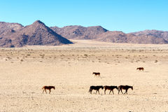 Wild horses walk in desert Royalty Free Stock Photography