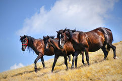 Wild horses walking. Three wild horses walking on a pasture in a sunny day Stock Images