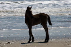 Wild horses walking along the beach in Corolla, North Carolina Royalty Free Stock Photo