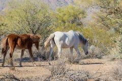 Wild Horses Walking in the Desert. Wild horses near the Salt River in the Arizona desert Royalty Free Stock Photography