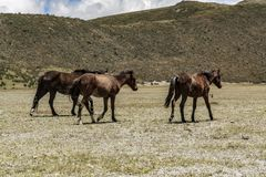 Wild horses walking in a national park royalty free stock photography