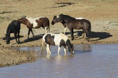 Wild Horses at a Water Hole. Band of wild horses gathering around a water hole on a hot summer day Royalty Free Stock Image