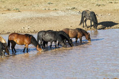 Wild Horses at a Water Hole Stock Photography