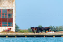Wild horses. On the water shore Stock Photography