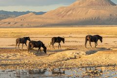 Wild Horses by a Waterhole in the Desert. A herd of wild horses next to a pond in the Utah desert in summer Stock Image