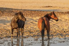 Wild Horses at a Waterhole. A herd of wild horses at a muddy pond in the Utah desert Royalty Free Stock Photography
