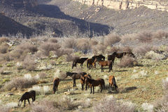 Wild Horses in Western Canyon Royalty Free Stock Images