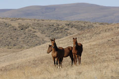 Wild horses in wide open places Royalty Free Stock Image