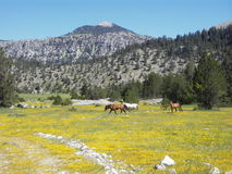 Wild horses and wild flowers Royalty Free Stock Images