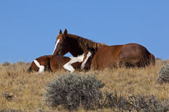 Mare and colt horses resting in Wyoming Royalty Free Stock Image