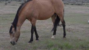 Wild Horses Wyoming stock video