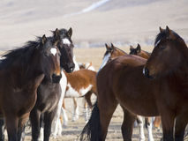 Wild Horses of Wyoming Royalty Free Stock Photo