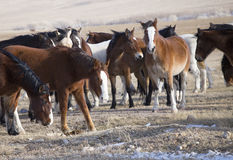Wild Horses of Wyoming Royalty Free Stock Images