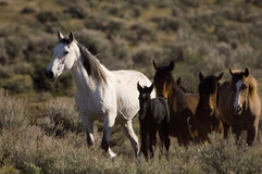 Wild horses and young colt. Walking through the sage brush Royalty Free Stock Images