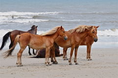 Wild Horses3. Wild horses that live on the beach in North Carolina Royalty Free Stock Image