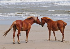 Wild Horses5. Wild horses that live on the beach in North Carolina Royalty Free Stock Photography
