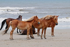 Wild Horses7. Wild horses on the beach in North Carolina/outer banks Royalty Free Stock Photo