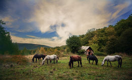Wild horss at pasture. Wild horses in carpatian mountains Ukraine Stock Photo