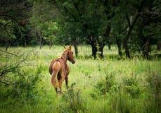 wild häst Arkivfoto