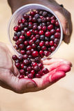 Wild huckeberries Stock Photography