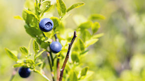 Wild huckleberries in forest Royalty Free Stock Images