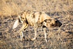 wild hund Arkivfoto