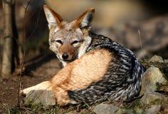 wild hund Royaltyfri Bild